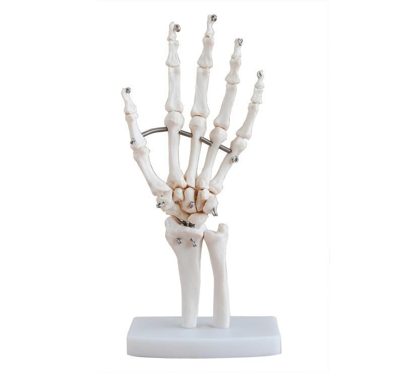 Life-Size Hand Joint 1