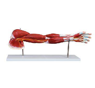 Muscle of Human Arm (7Parts) 4