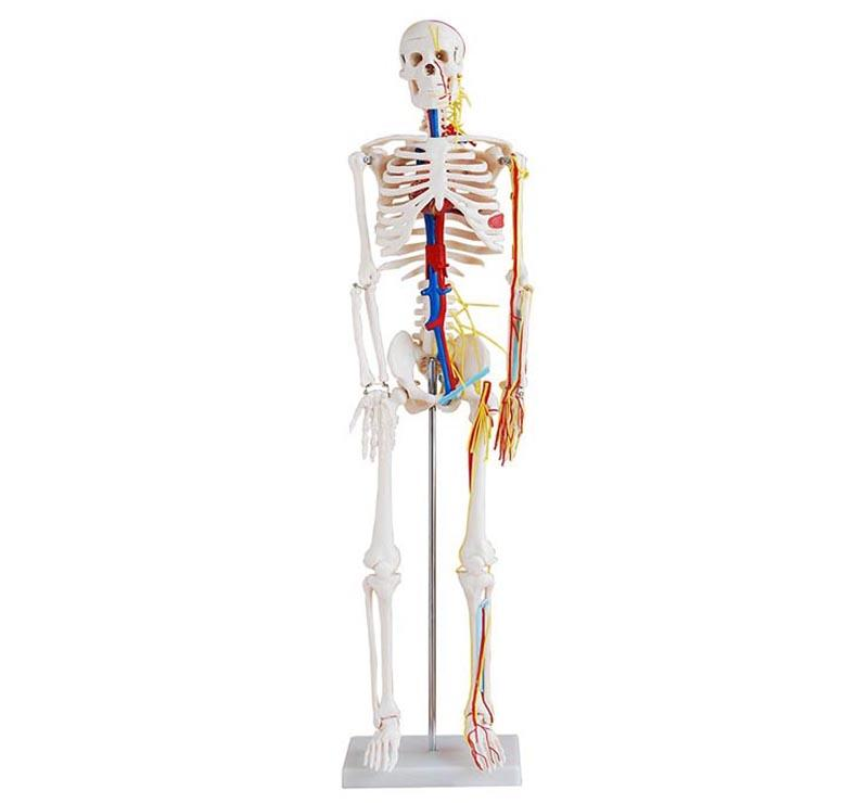 85cm Skeleton with Nerves and Blood Vessels 1