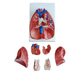Larynx, Heart and Lung Model 2