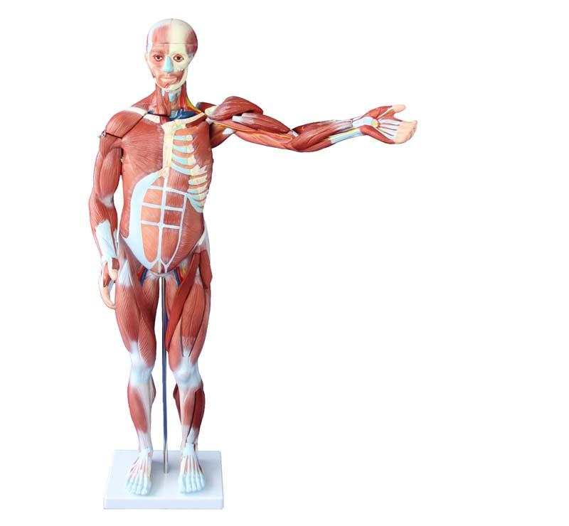 80CM HUMAN MUSCLE MODEL MALE (27 PARTS) 1