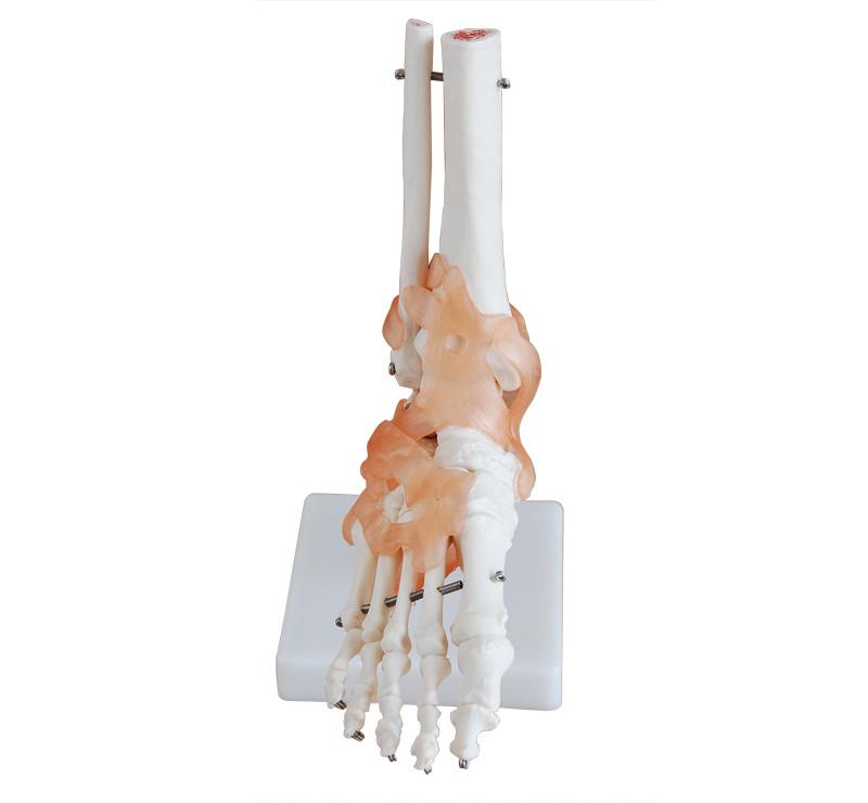 Life-Size Foot Joint with Ligaments 1