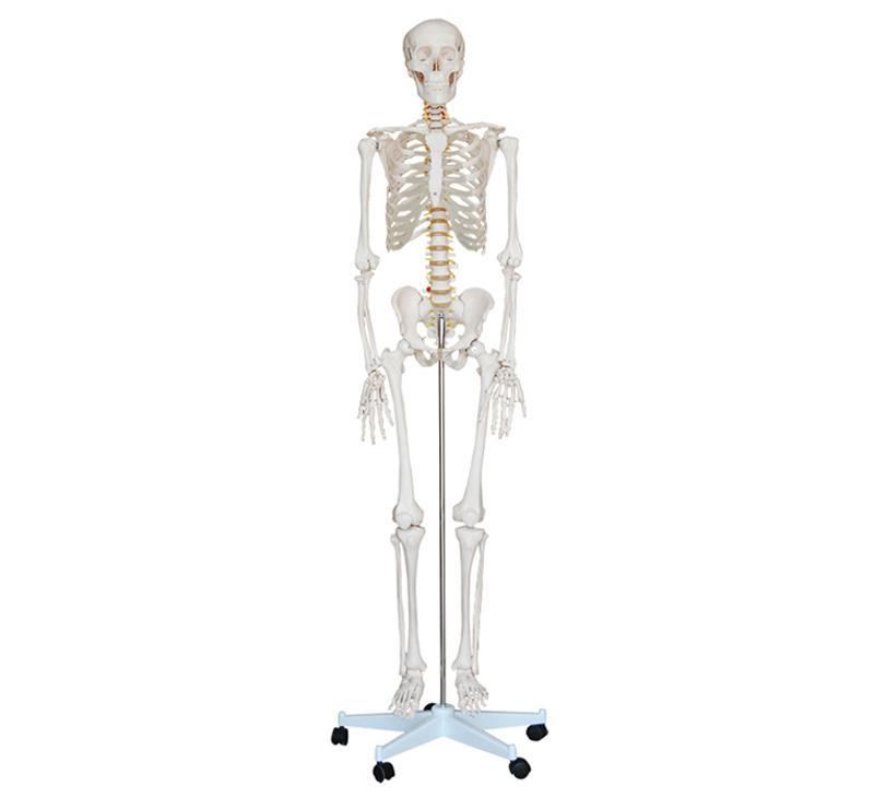 Life-Size Skeleton 180cm Tall 1