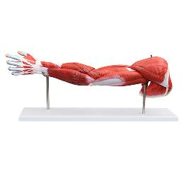 Muscle of Human Arm (7Parts) 3
