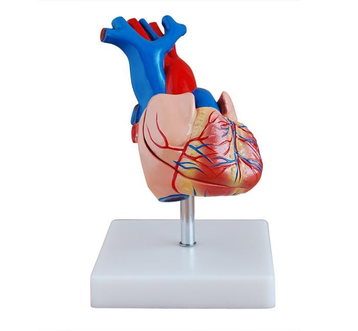 Life-Size Heart Model 1