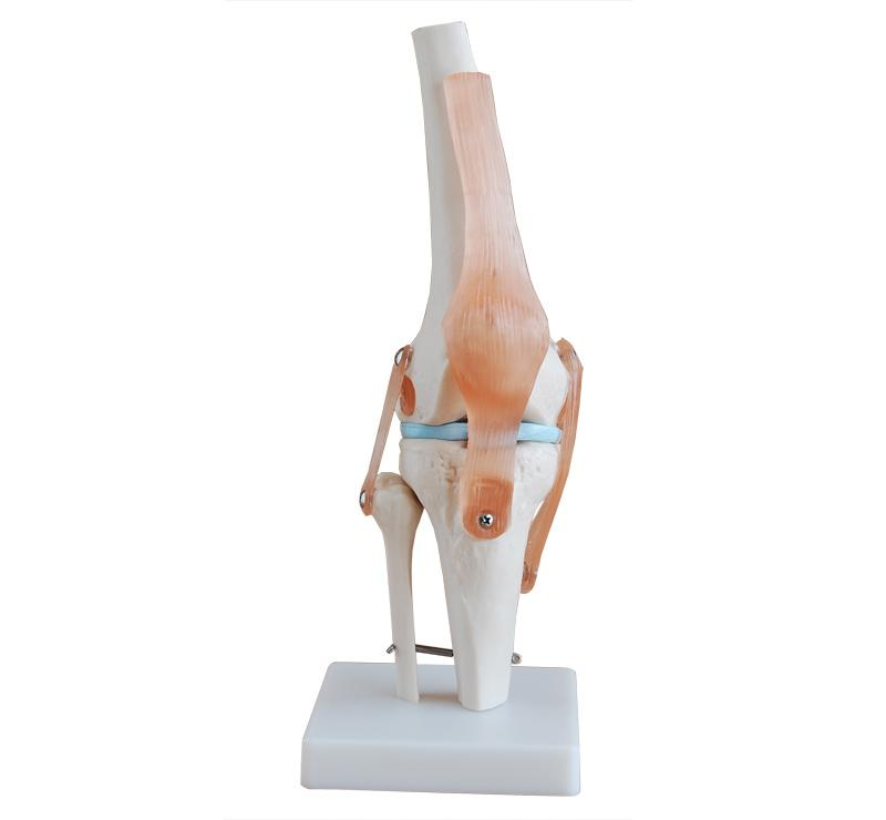 Life Size Knee Joint