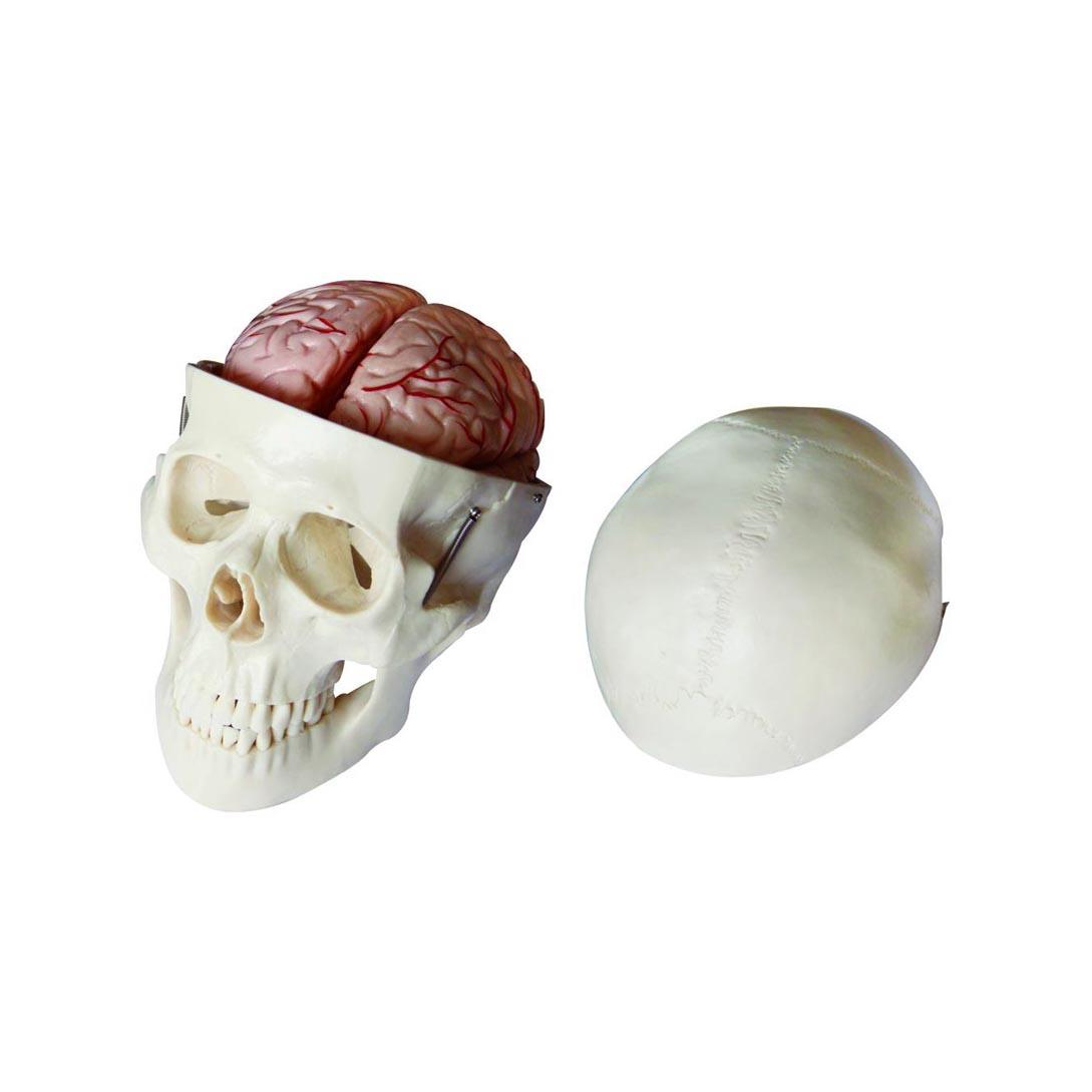 Skull Model with 8 Parts Brain 1