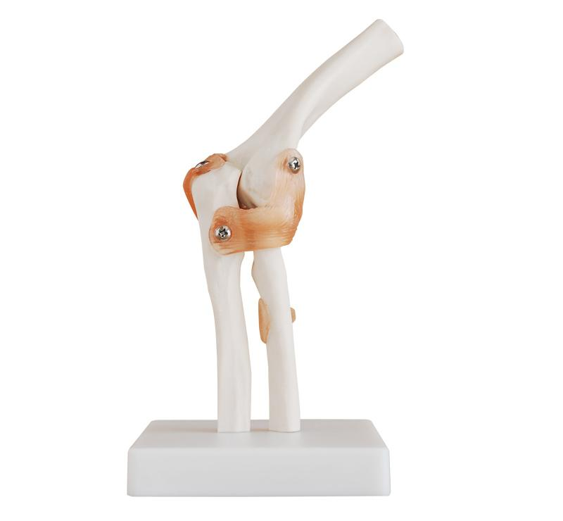 Life-Size Elbow Joint 1
