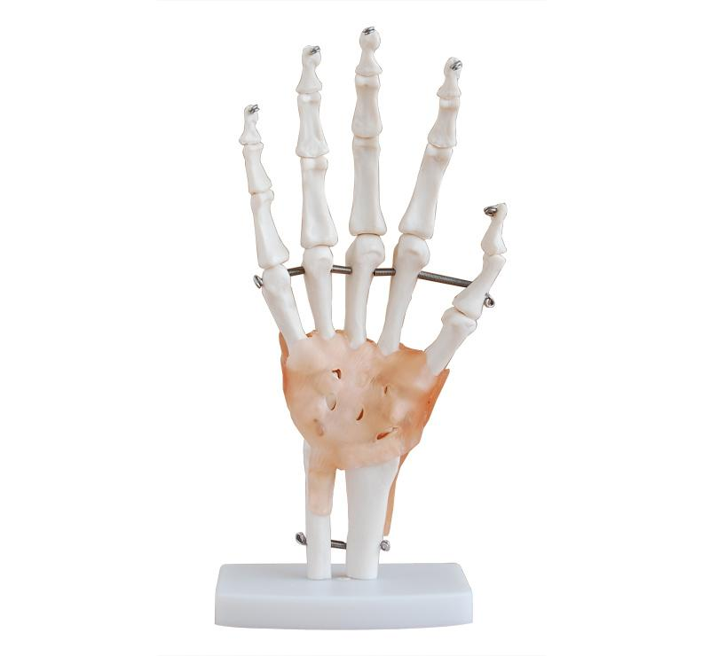 Life-Size Hand Joint with Ligaments 1