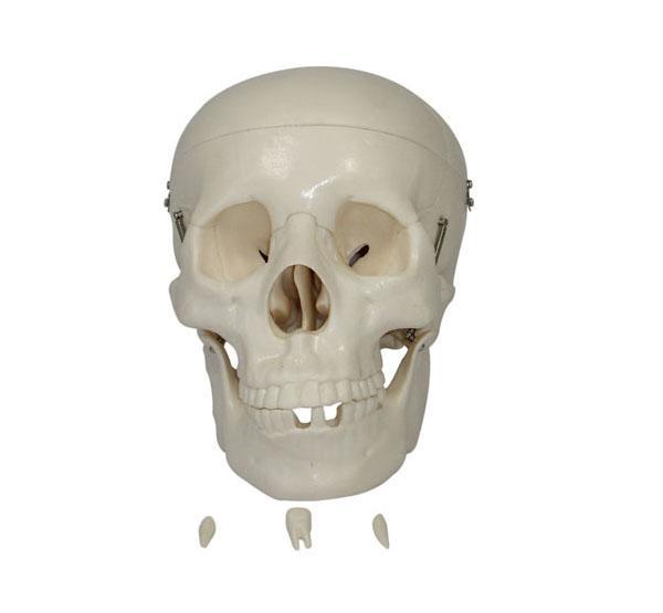 Life-Size Skull 1