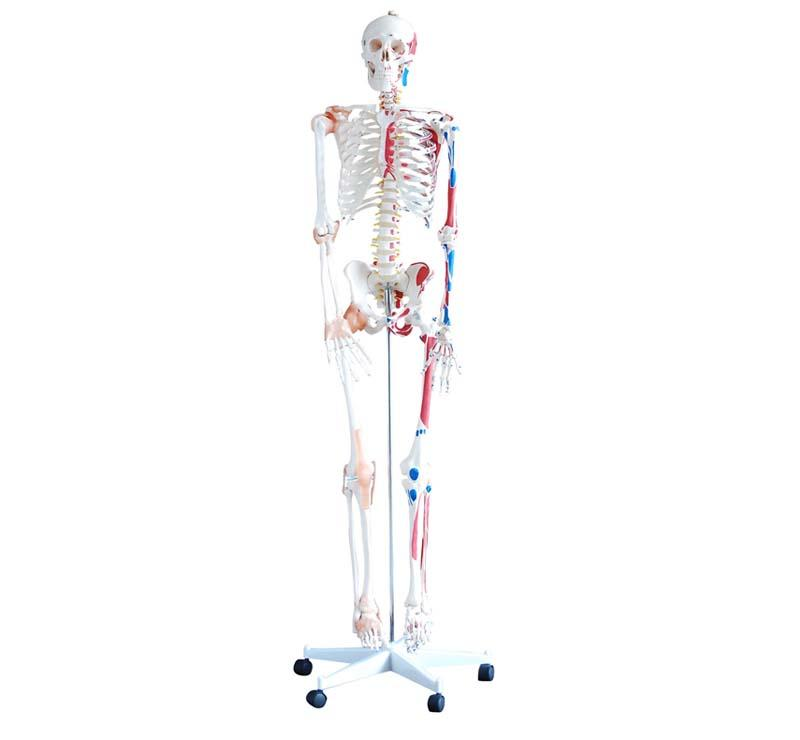 Skeleton with Muscles and Ligaments 180cm Tall 1