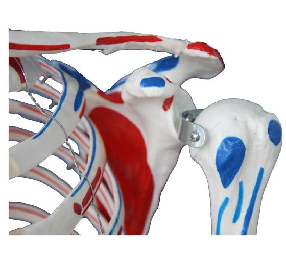 Skeleton with Muscles and Ligaments 180cm Tall 3