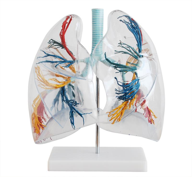 Model of the Transparent Lung Segment 1