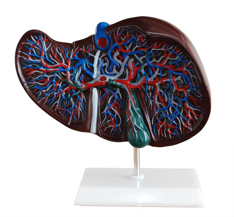 Liver Model 1