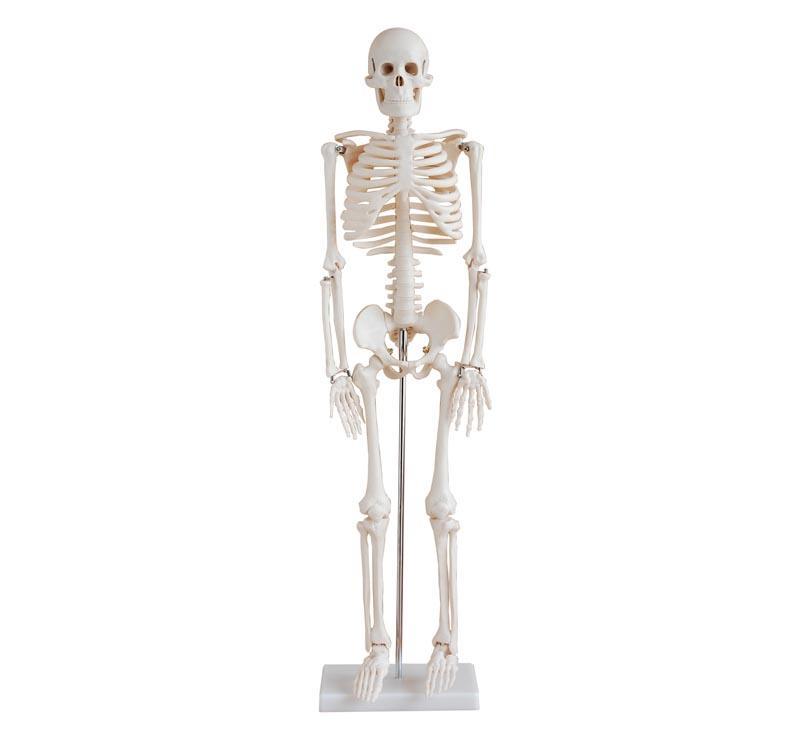 85cm Skeleton 1