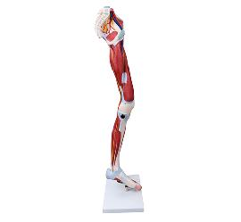 Muscle of Human Leg (13Parts) 2
