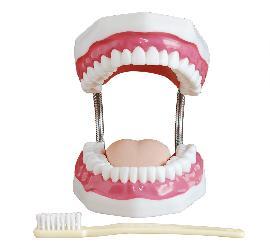 Dental Care Model (32 Teeth) 3