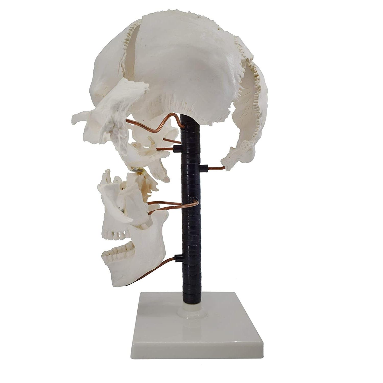 Exploded Skull Model 22 Parts - Life Sizeskull 2