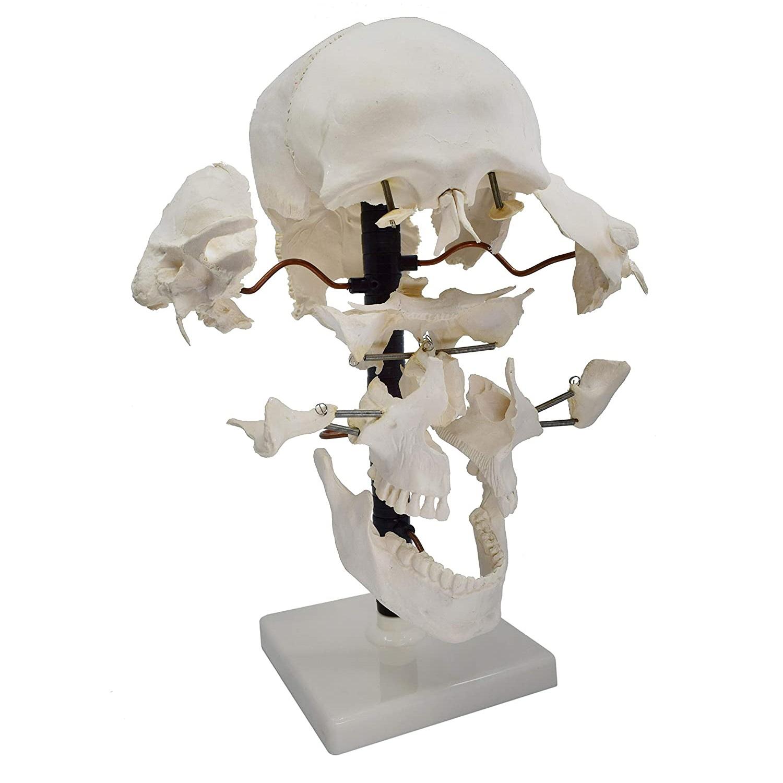 exploded skull 22 parts