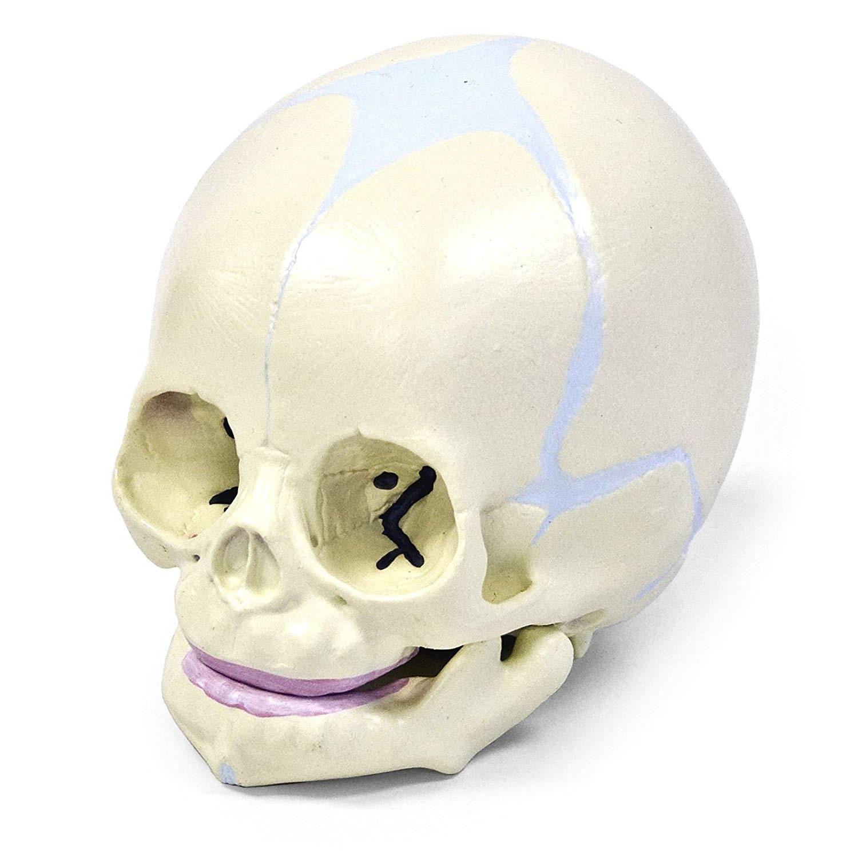 new born skull model